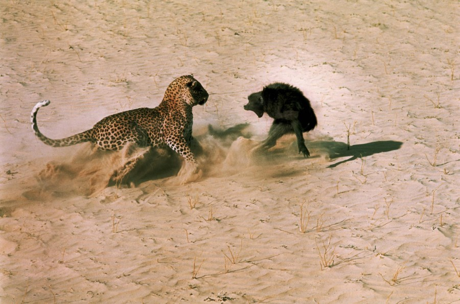 Leopard-about-to-kill-a-terrified-baboon